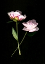 Photography--Color-FloralPeonies, Two Smallish