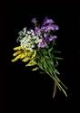 Photography--Color-FloralQueen Anne's Lace, Golden Rod