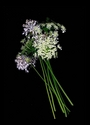 Photography--Color-FloralQueen Anne's Lace and Chives
