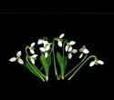 Photography--Color-FloralSnow Drops, Scattered