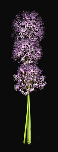 Allium Bunch Vertical