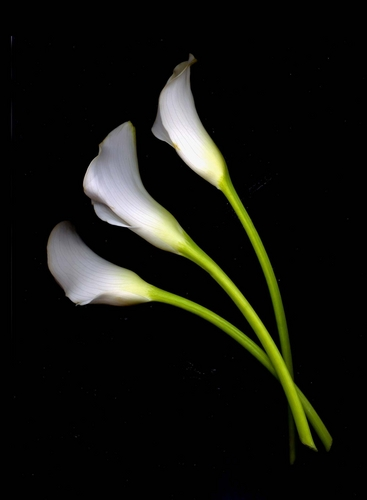 Calla Lilies Curved