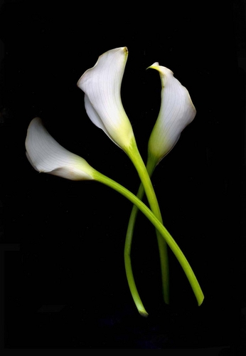 Calla Lilies Curved Crossed
