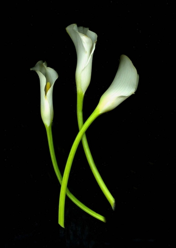 Calla Lilies Curved CrossedProfile