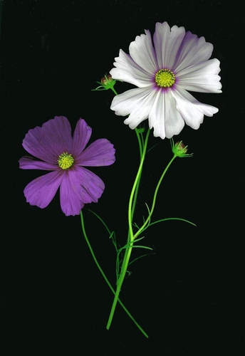 Cosmos Purple and White
