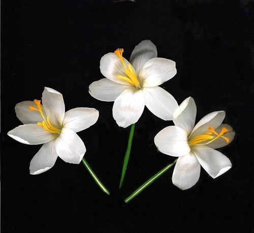 Crocuses White Full Face