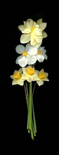 Daffodils, Pheasant Eye, Vertical