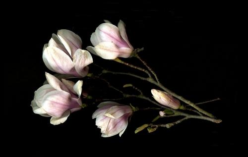 Magnolias Horizontal