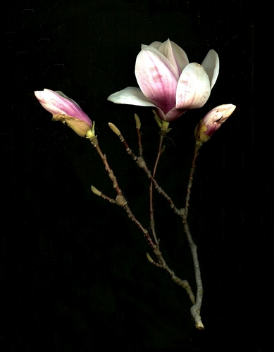 Magnolias Three