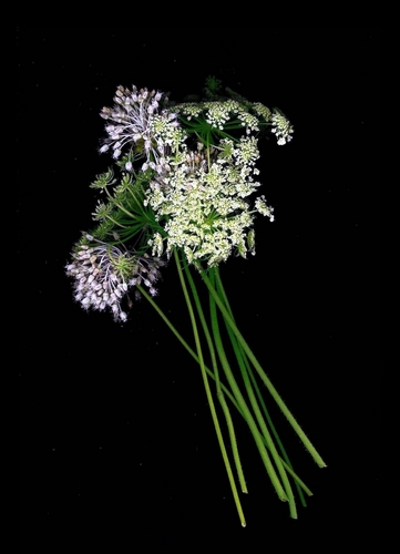 Queen Anne's Lace and Chives