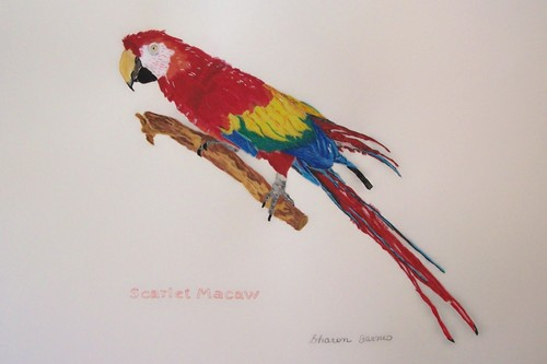 Scarlet Macaw (large view)