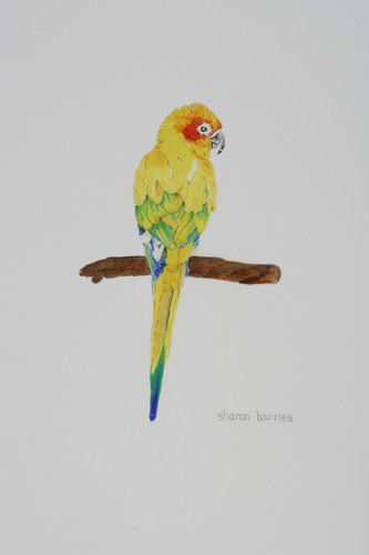 Sun Conure (large view)