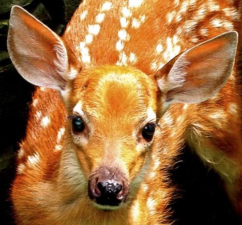 Bambi's Back!