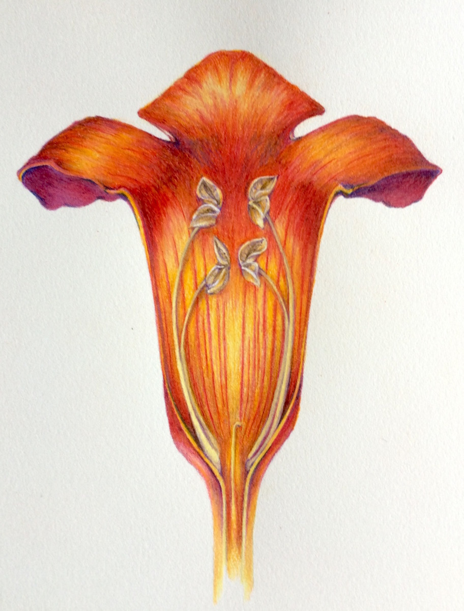 Trumpet Vine Cross Section (large view)