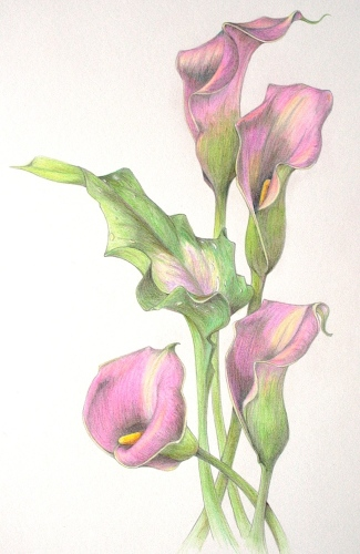 Calla Lilies (large view)