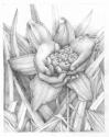 Daylillies (thumbnail)
