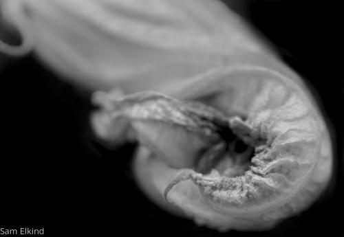 Squash Blossom - 5