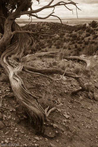 Weathered Tree (large view)