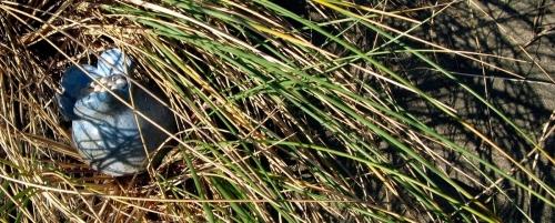 Dune Grass Pod