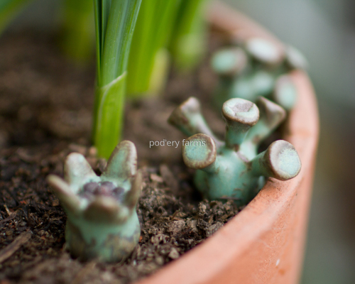 Mini pods in flower pot