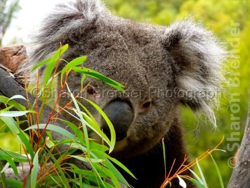 Sweet Koala - Melbourne, Australia