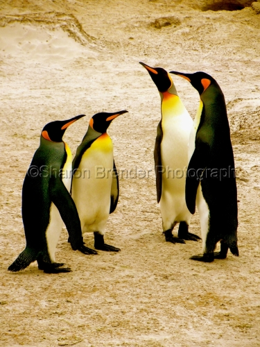 The Penquin Family Unit - Falkland Islands