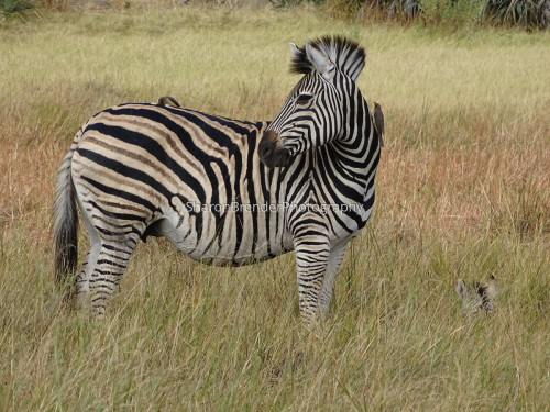 Zebra Mama and Baby - South Africa