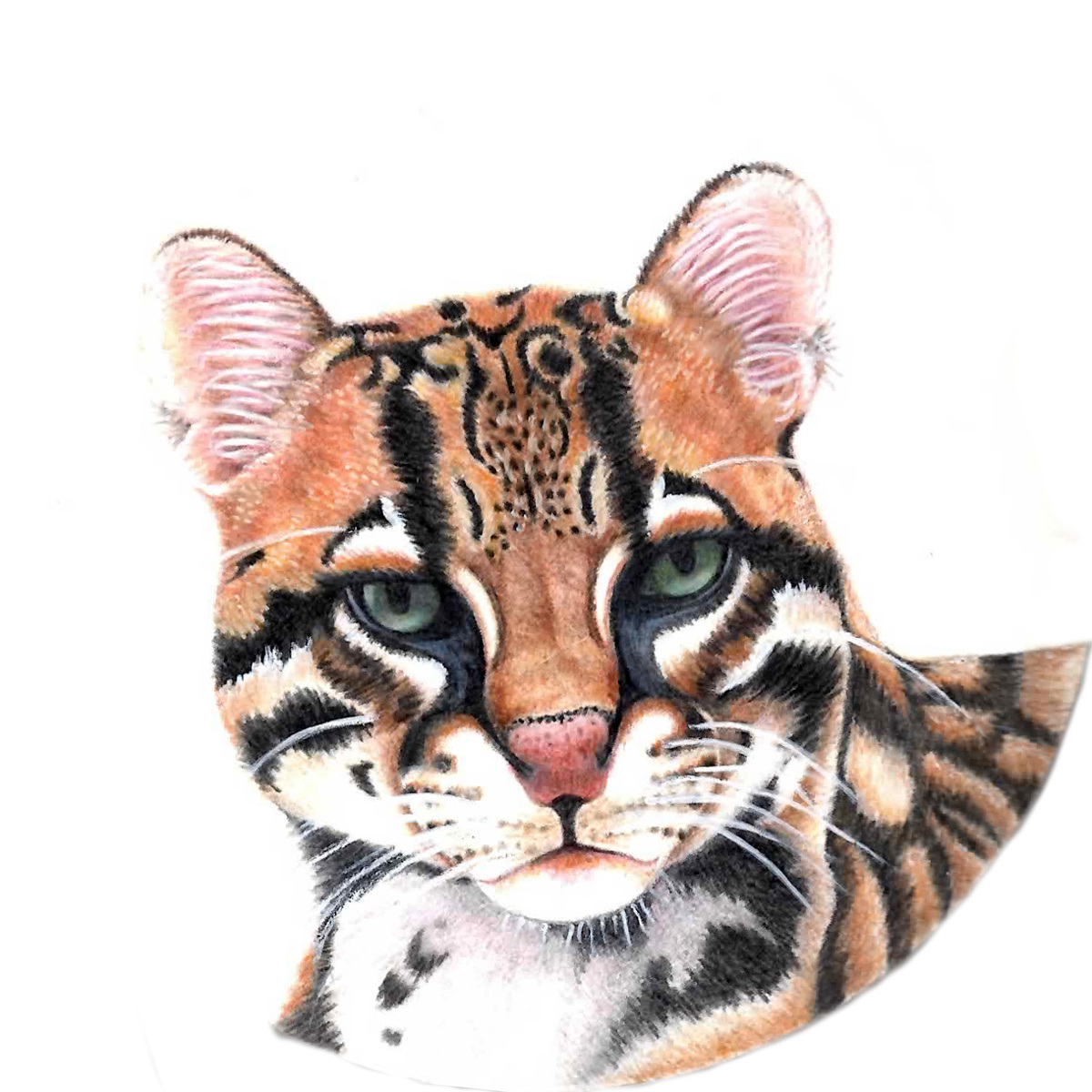 Ocelot (large view)