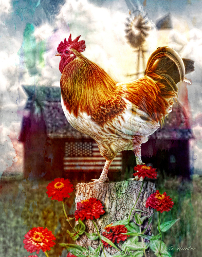 Sandy's Rooster