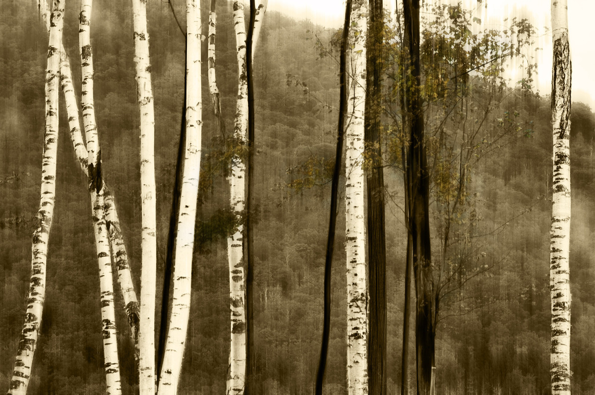 Nine birch. (large view)