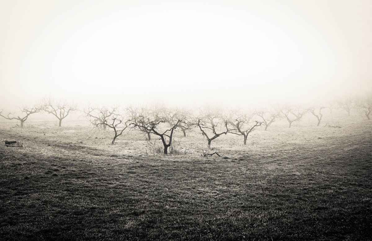Orchard in fog. (large view)