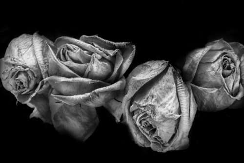 Four roses. (large view)