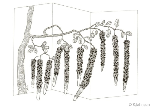 PENIS PLANT