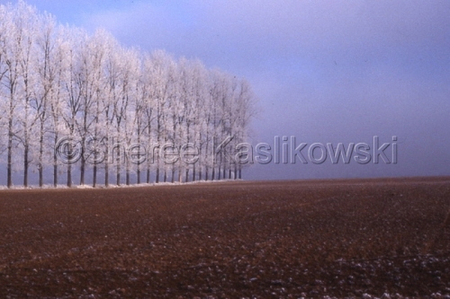 Ice Trees; Northern France