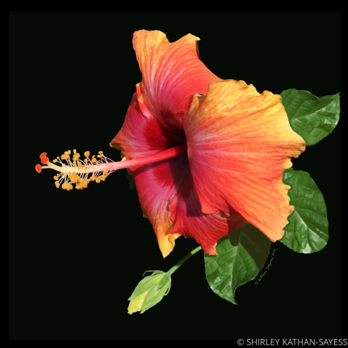 ORANGE AND YELLOW HAWAIIAN BEAUTY