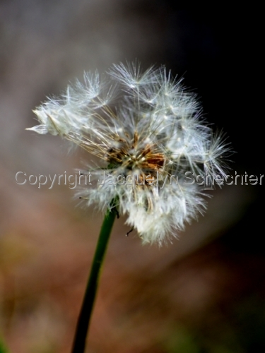 Dandelion, in Transition (large view)