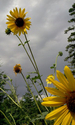 my sunflower field (thumbnail)