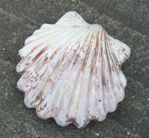 scallop shell rattle