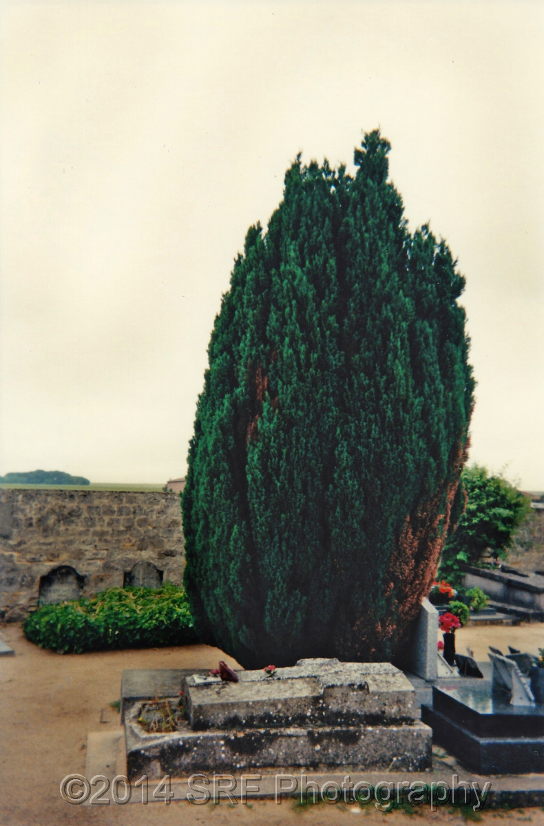 Lone Cypress (large view)