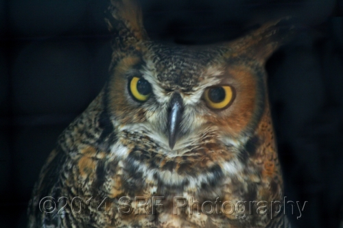 Great Horned Owl by SRF Photography