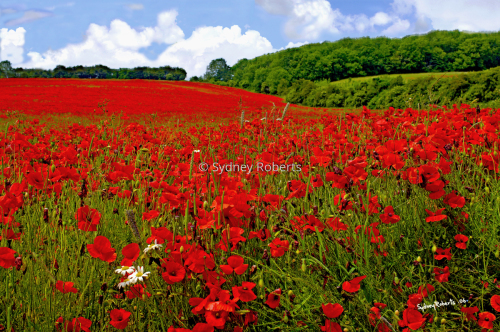 A Field of Poppies in the Cotswolds, England