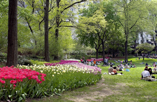Tulips In Central Park, New York City