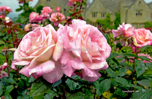 An English Rose Garden