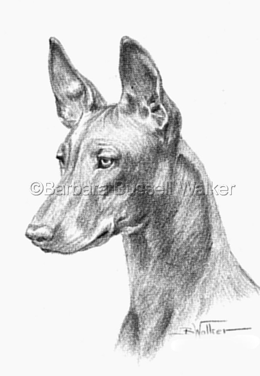 Head of a Pharaoh Hound (large view)