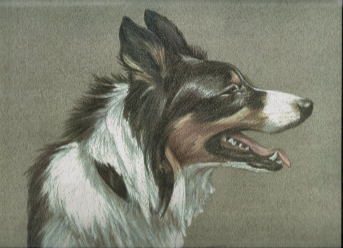 Border Collie (large view)