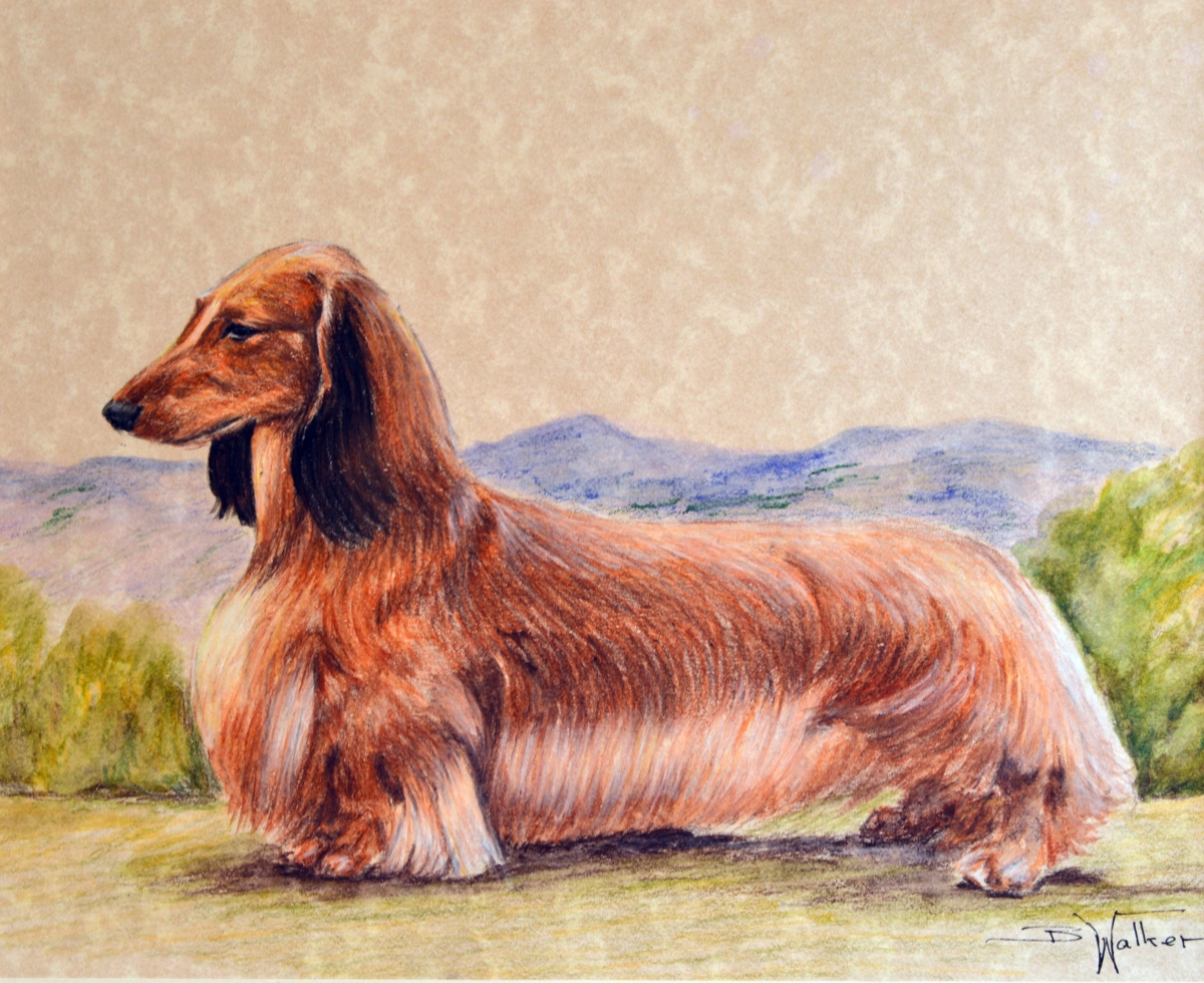 Longhaired Dachshund (large view)