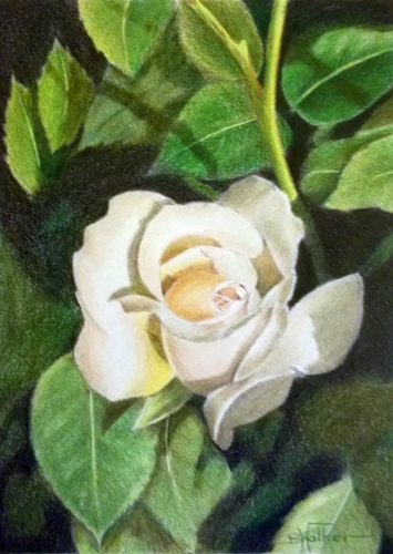 Nostell Rose