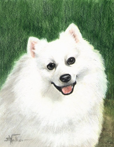 American Eskimo (large view)
