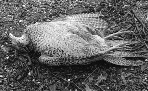 Lying Bird