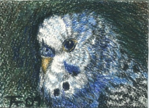 Budgie ACEO (large view)